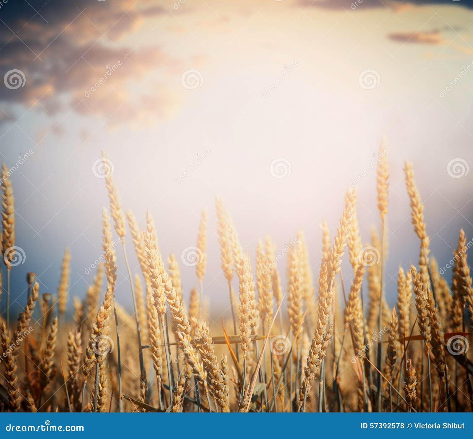 Rijp tarwegebied op oogstseizoen over hemelachtergrond