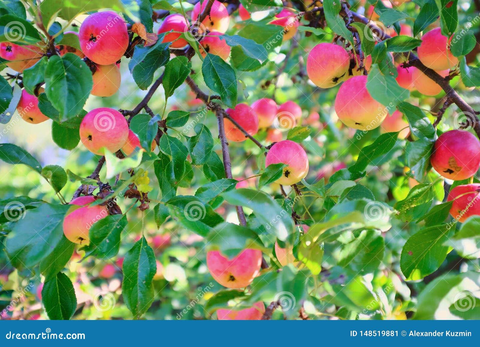 Rijpe appelen die op een boomtak groeien