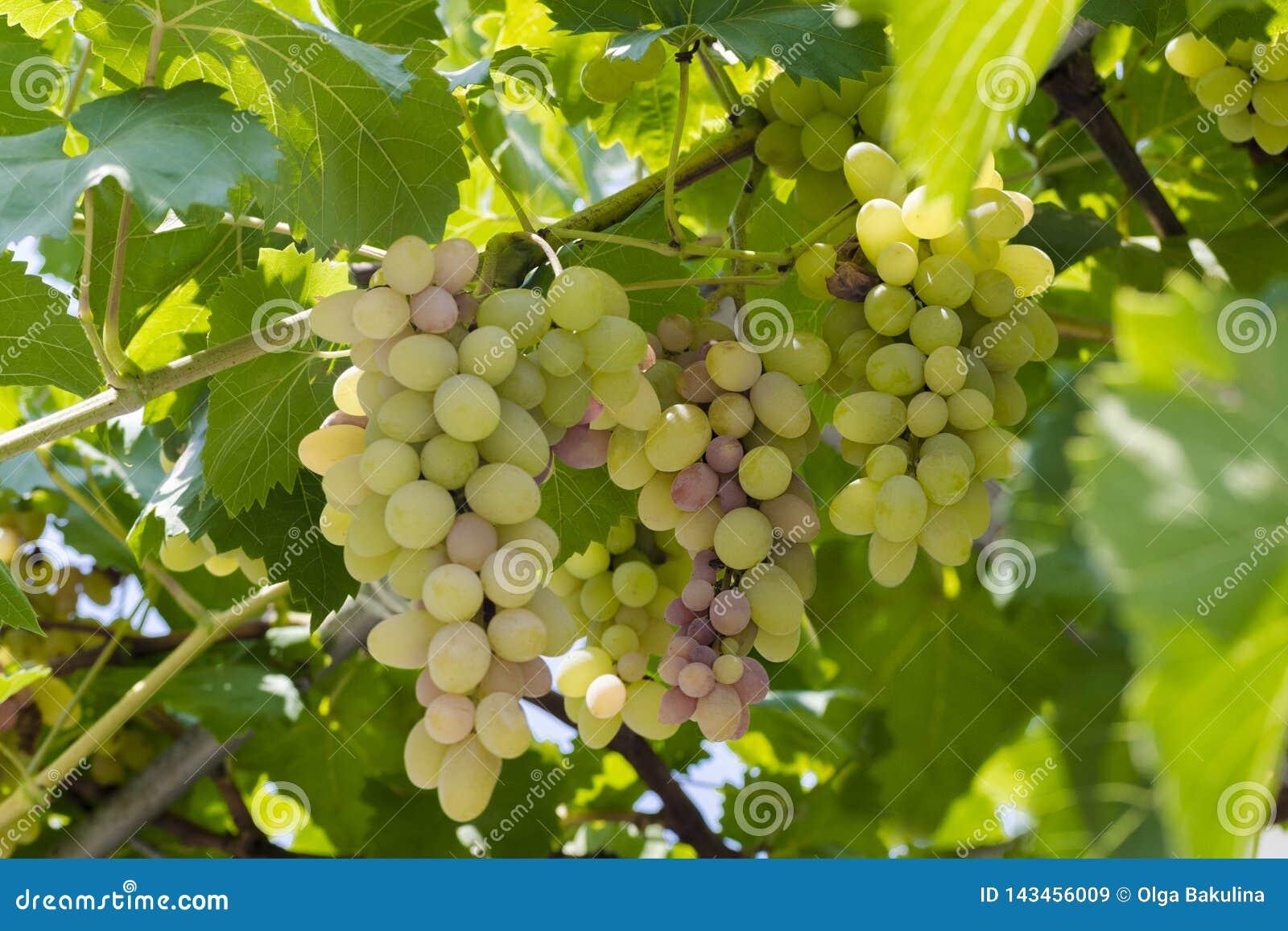 Rijpe die druiven op wijngaarden van druivenbomen worden gehangen Selectieve nadruk