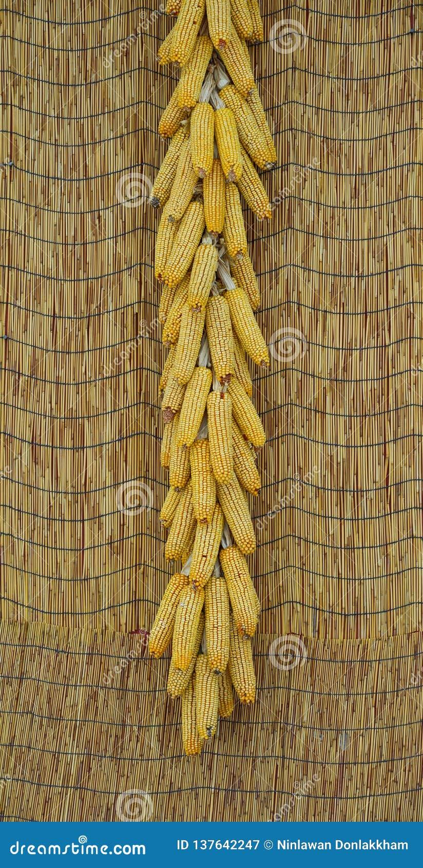 Rijpe droge maïskolven die op de muur hangen