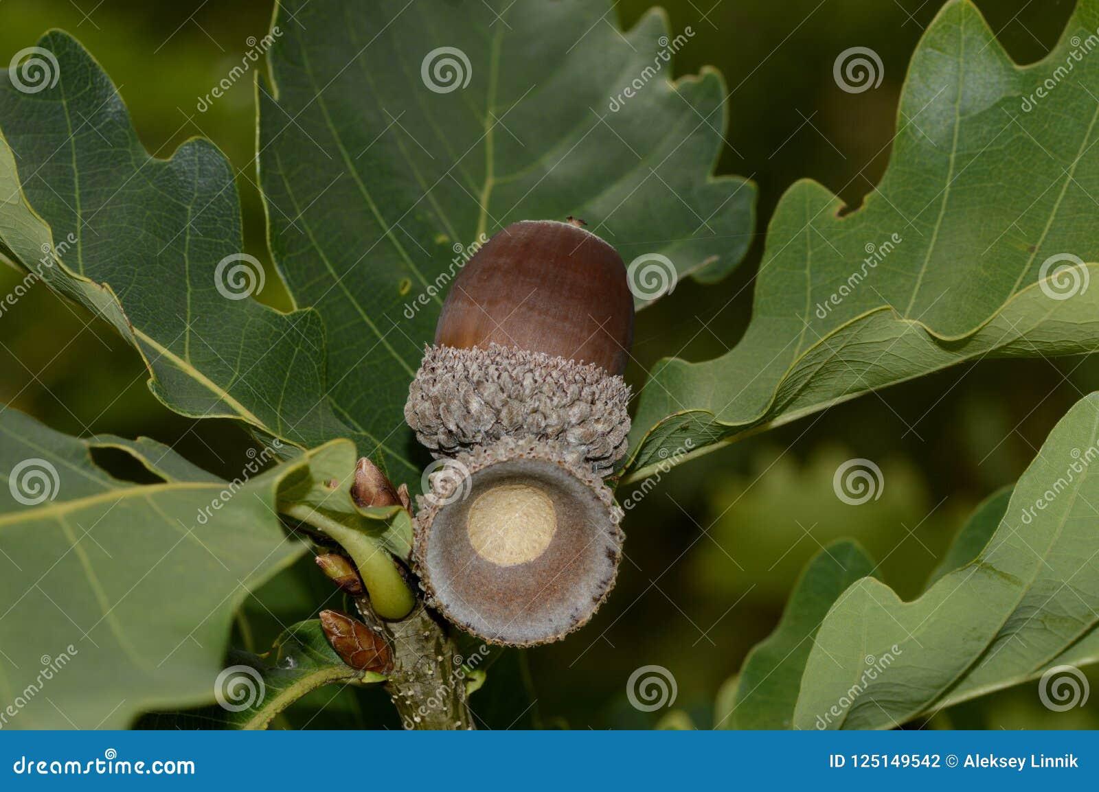 Rijpe eiken eikel op een boomtak