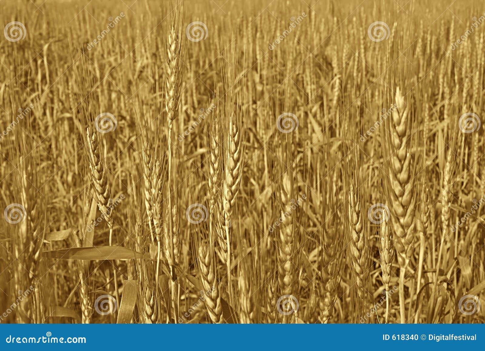 Rijpe Gouden Tarwe klaar voor oogst