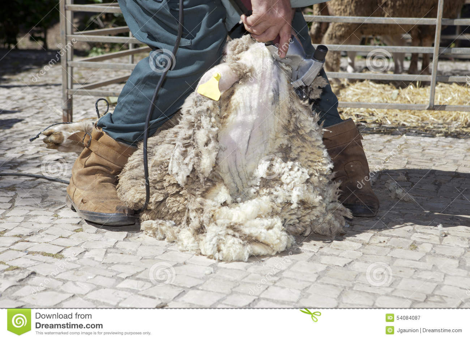 Rijpe landbouwer het scheren schapen met clipper