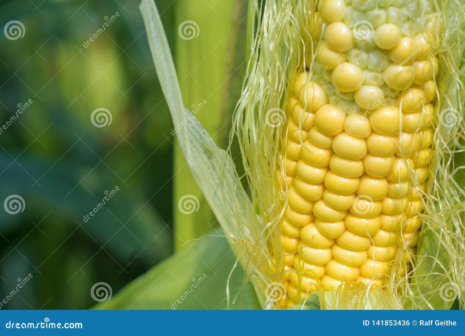 Rijpe maïskolf op het gebied