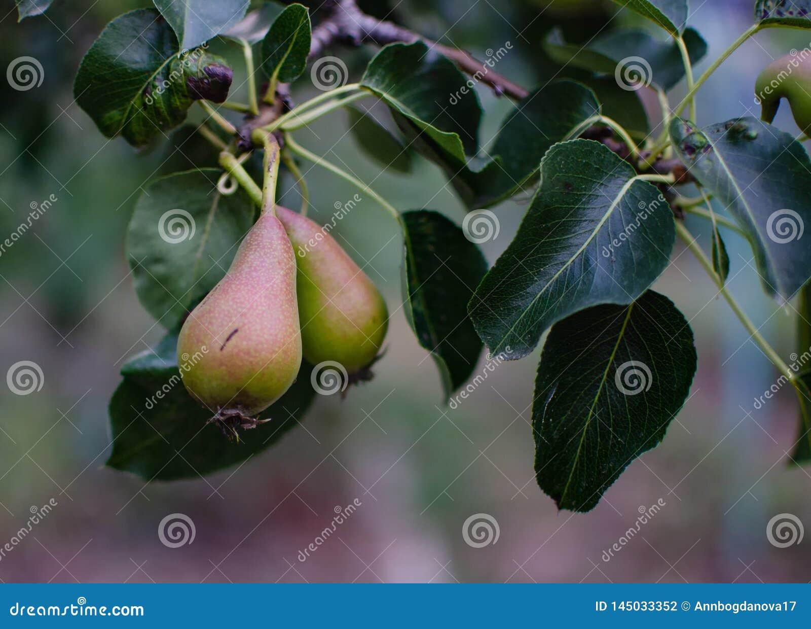Rijpe peer op een tak