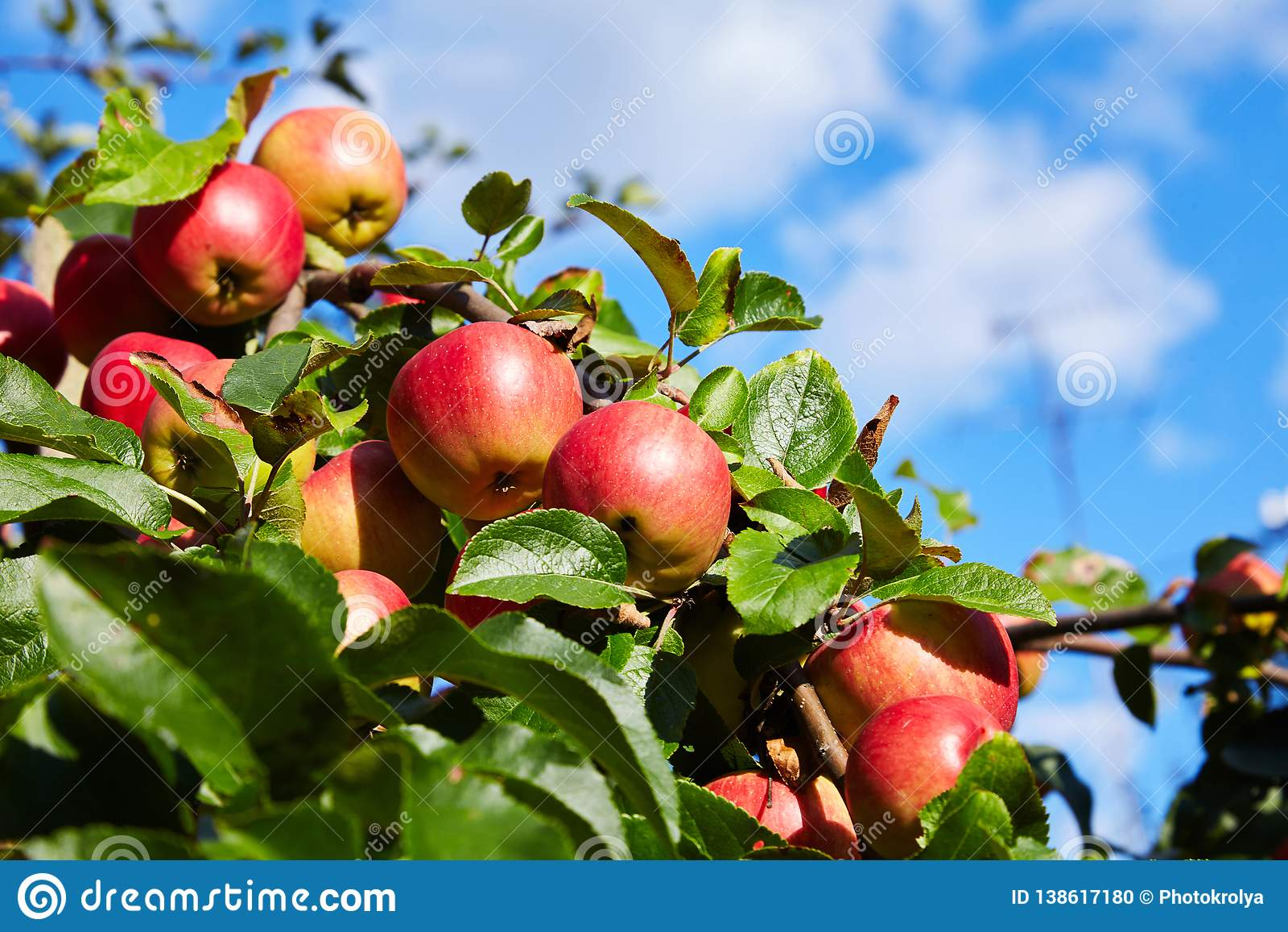 Rijpe rode appelen die in de tuin groeien