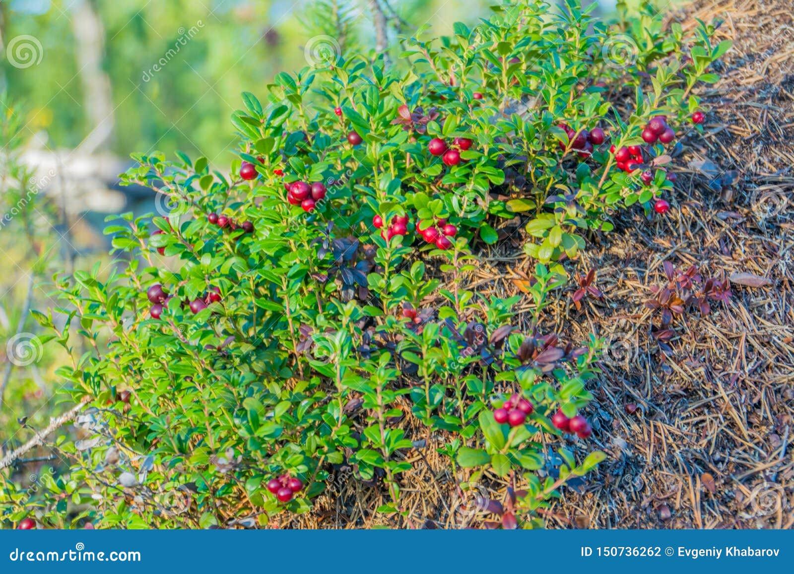 Rijpe rode blauwe bosbes Nadym