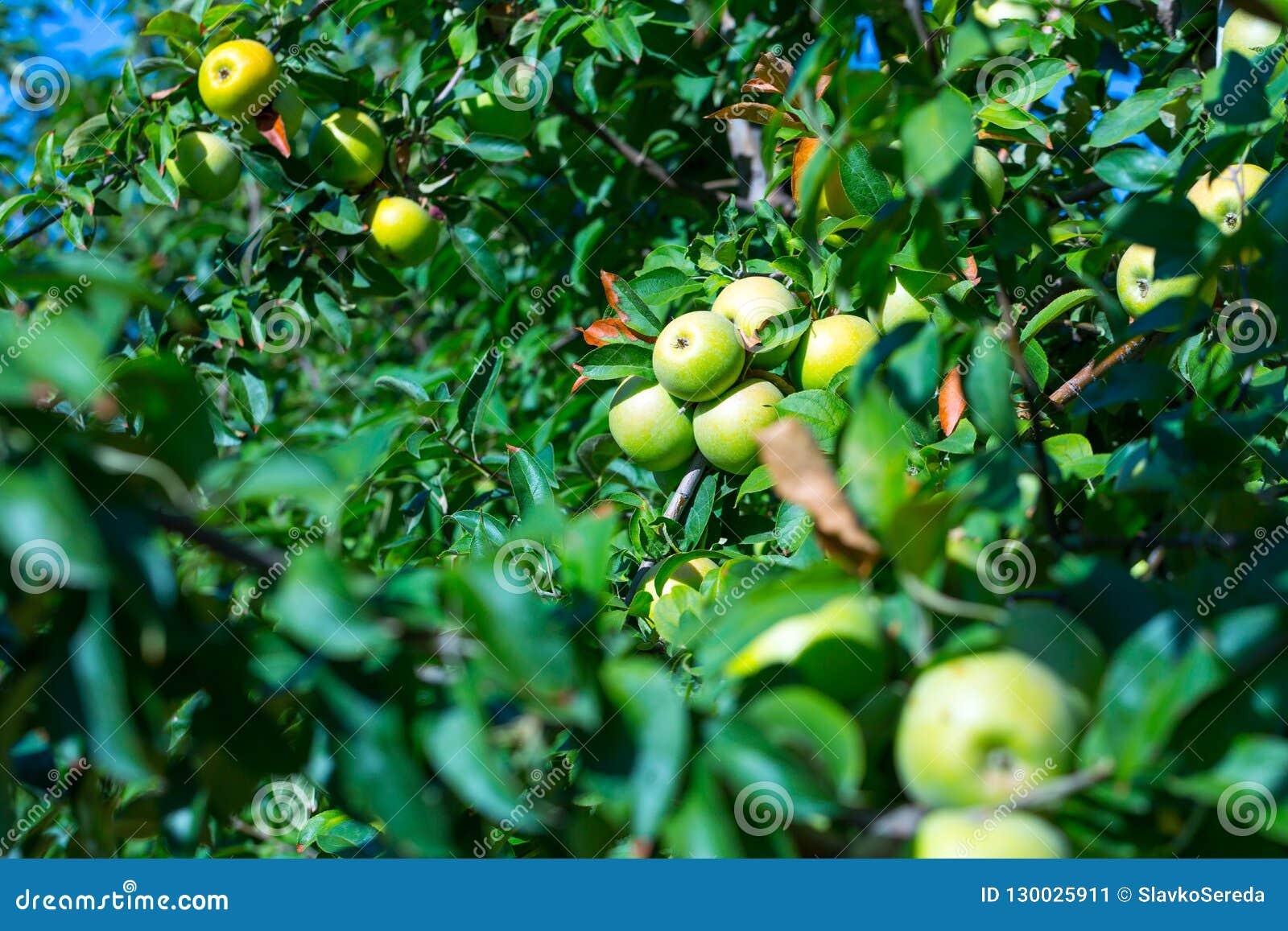 Rijpe vruchten van groene appelen op de takken van jonge appelbomen