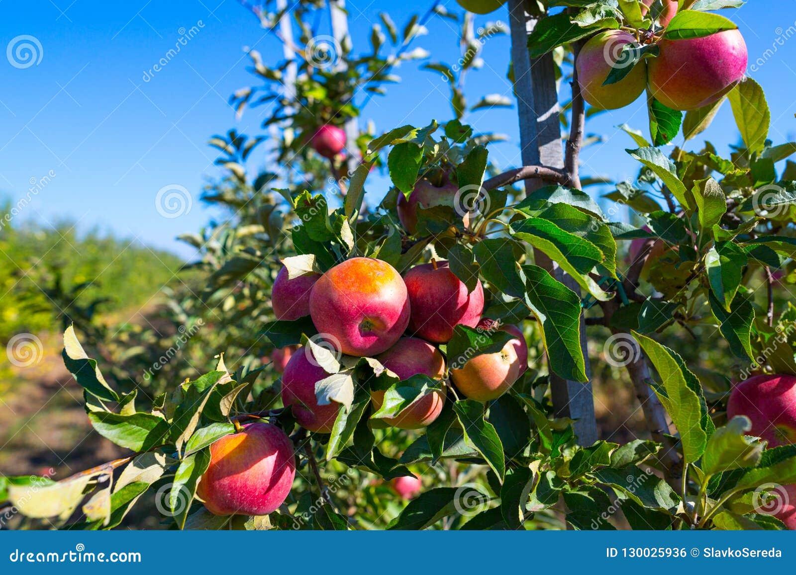 Rijpe vruchten van rode appelen op de takken van jonge appelbomen