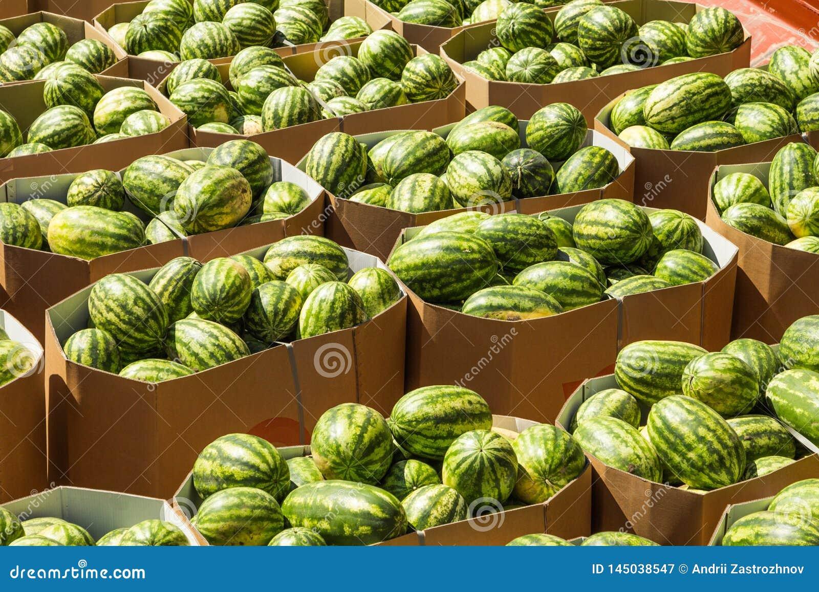 Rijpe watermeloenen die in kartondozen voor levering aan de opslag worden ingepakt