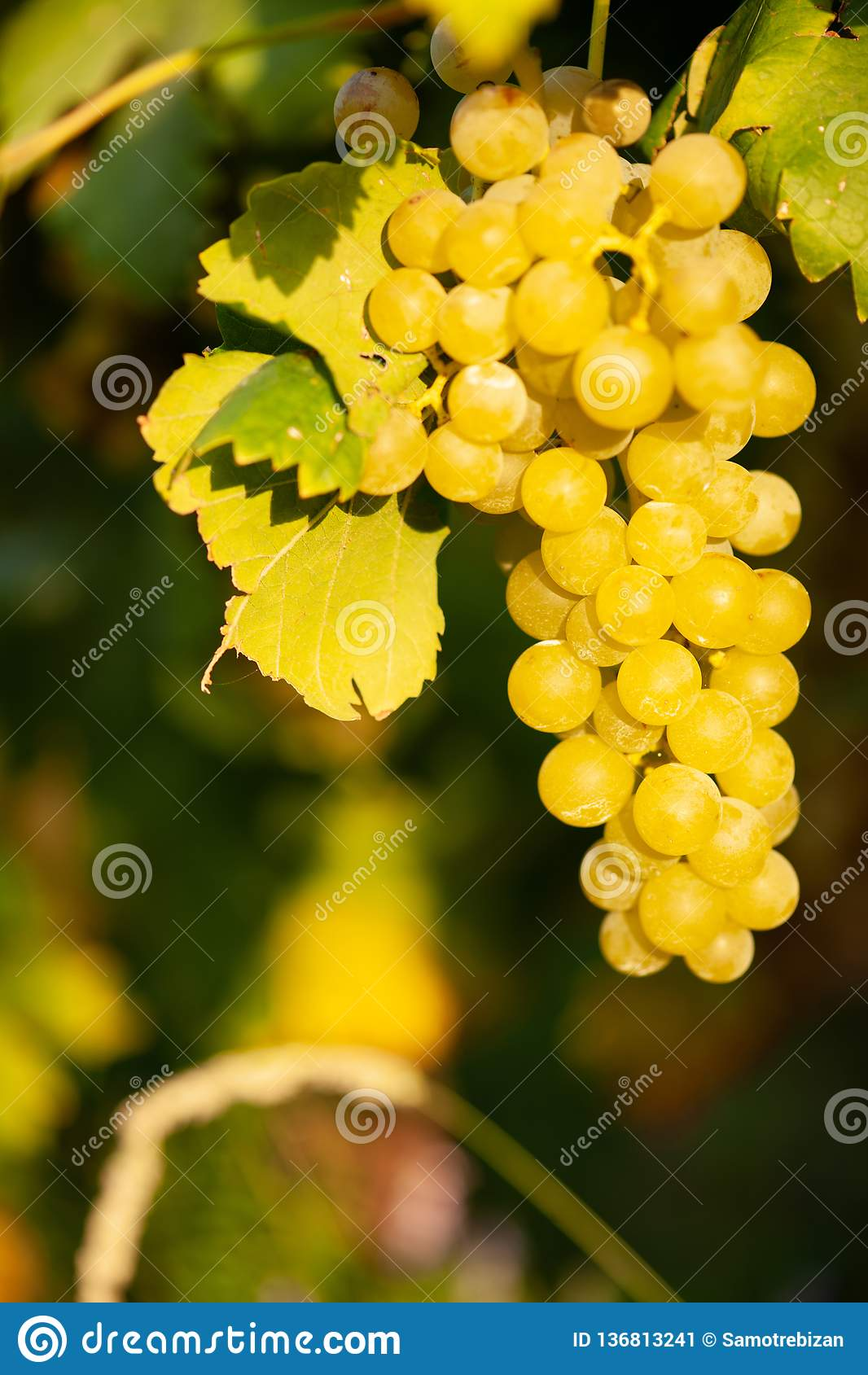 Rijpe witte druivenn wijngaard in de herfst vlak vóór oogst