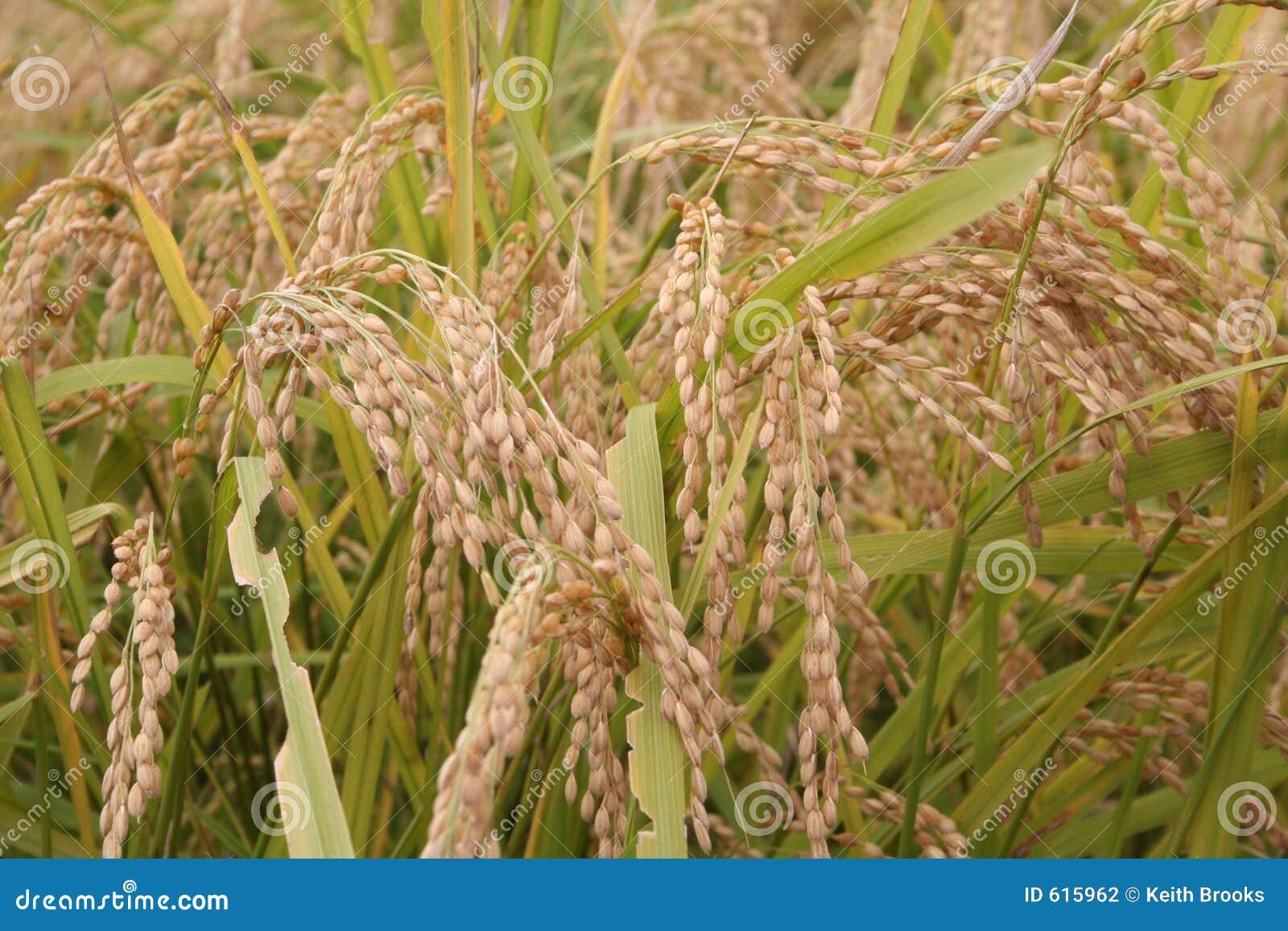 Rijst 2