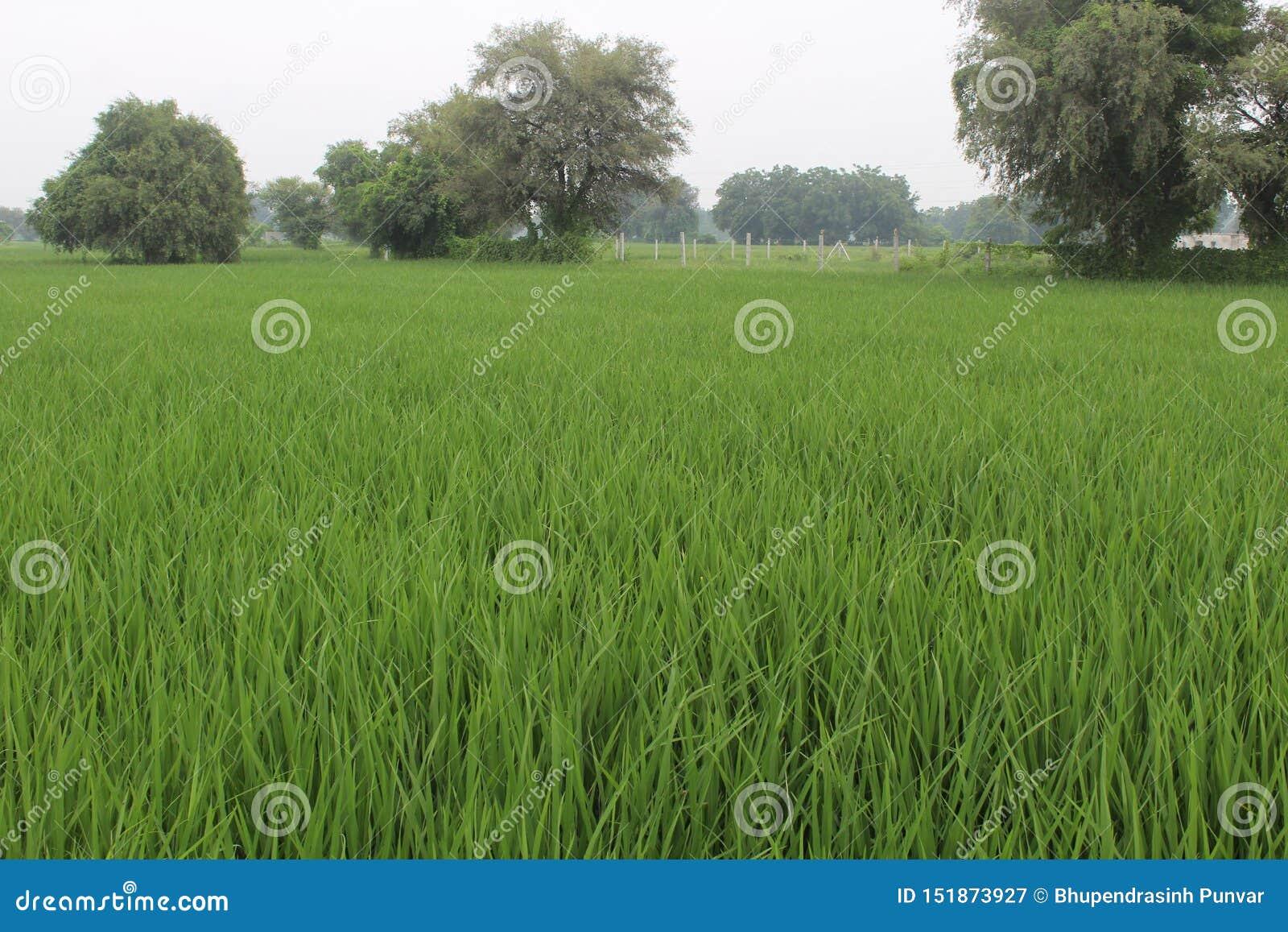 Rijst levend Gebied