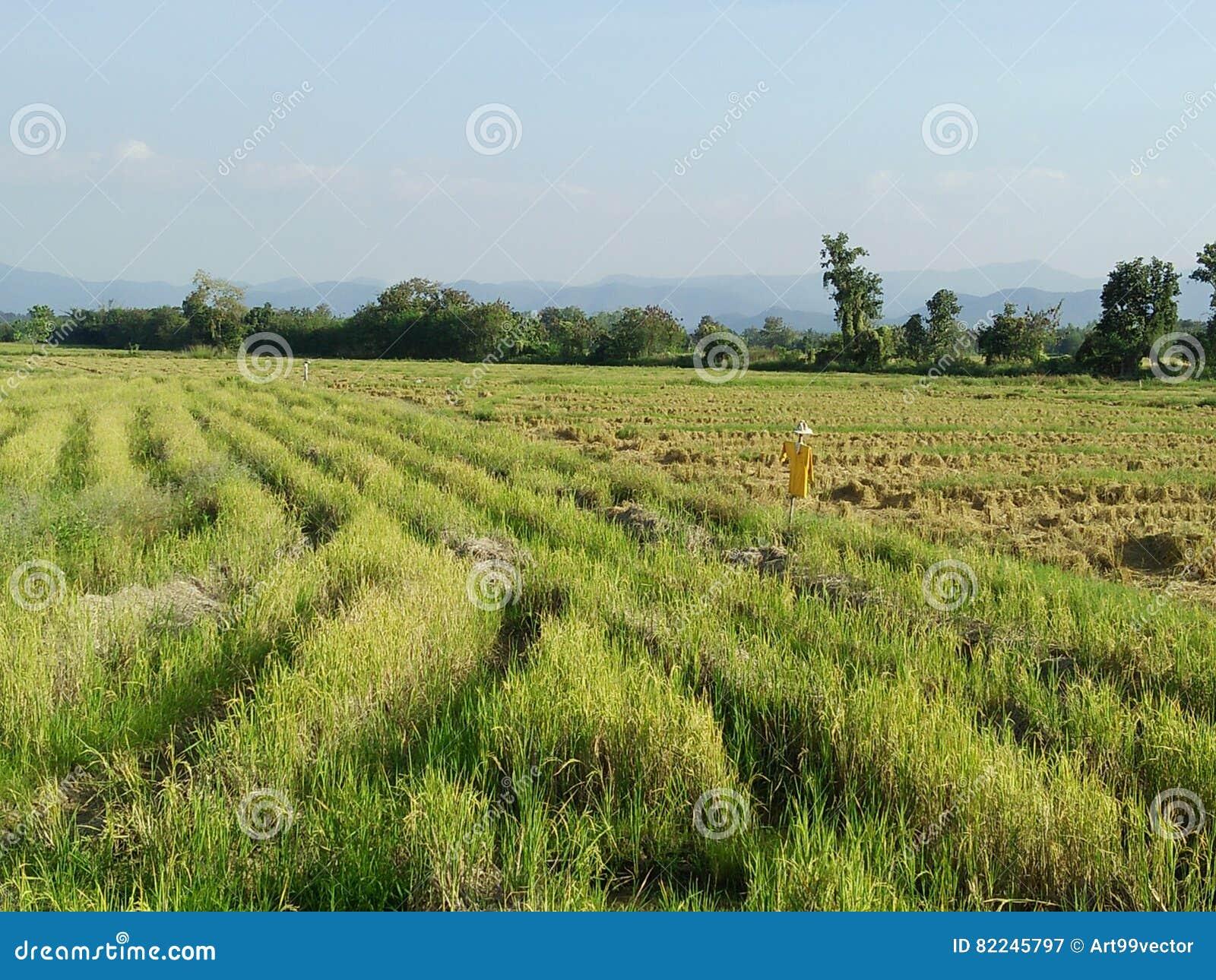 Rijststoppelveld