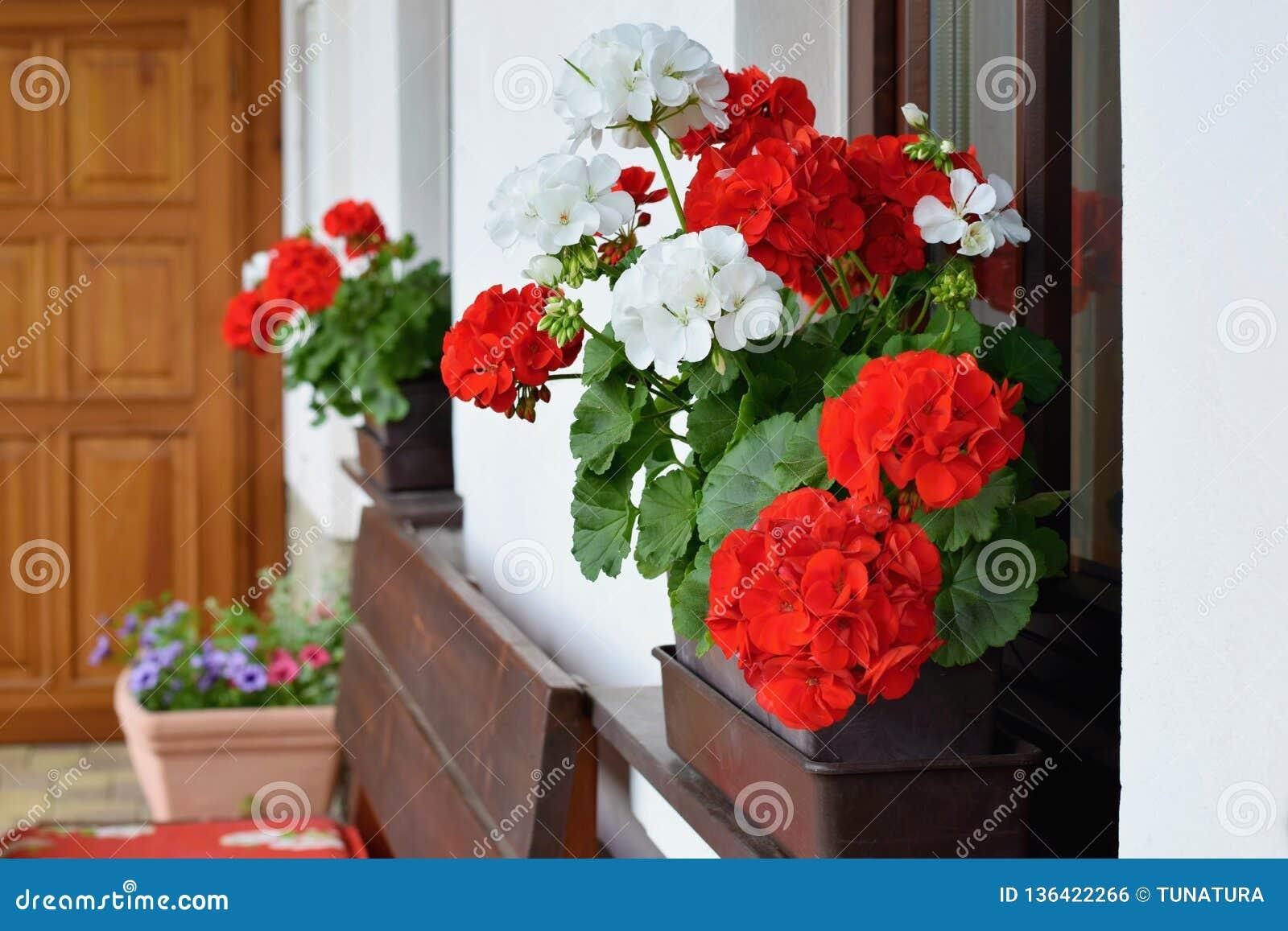 Rikt blomma pelargonblommor på fönstren
