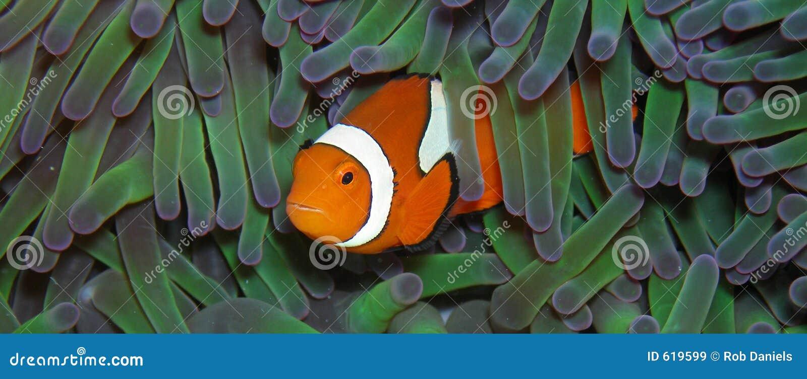 Riktig anemonefishclown