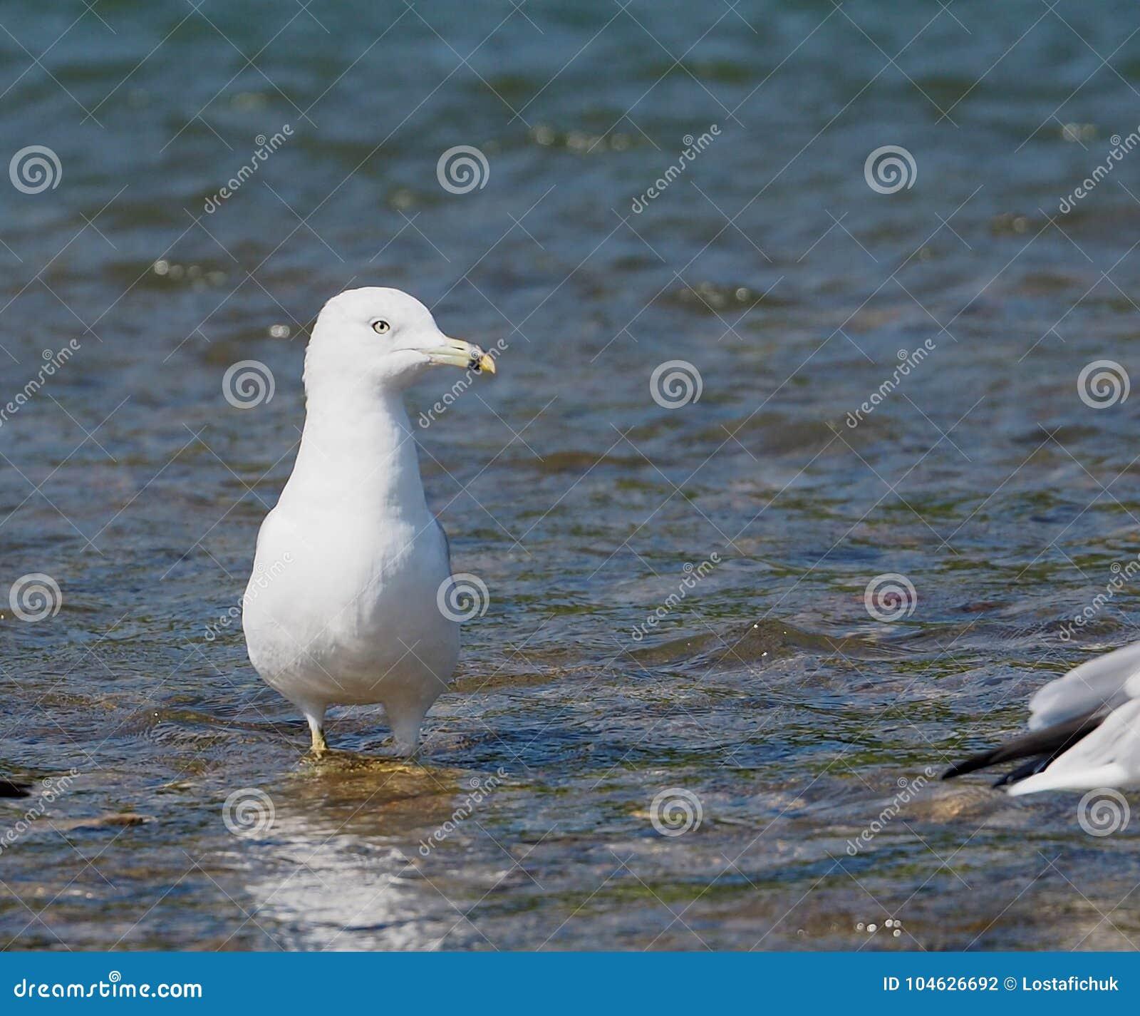 Download Ring Billed Gull Or Larus Delawarensis Stock Foto - Afbeelding bestaande uit ring, gefactureerd: 104626692