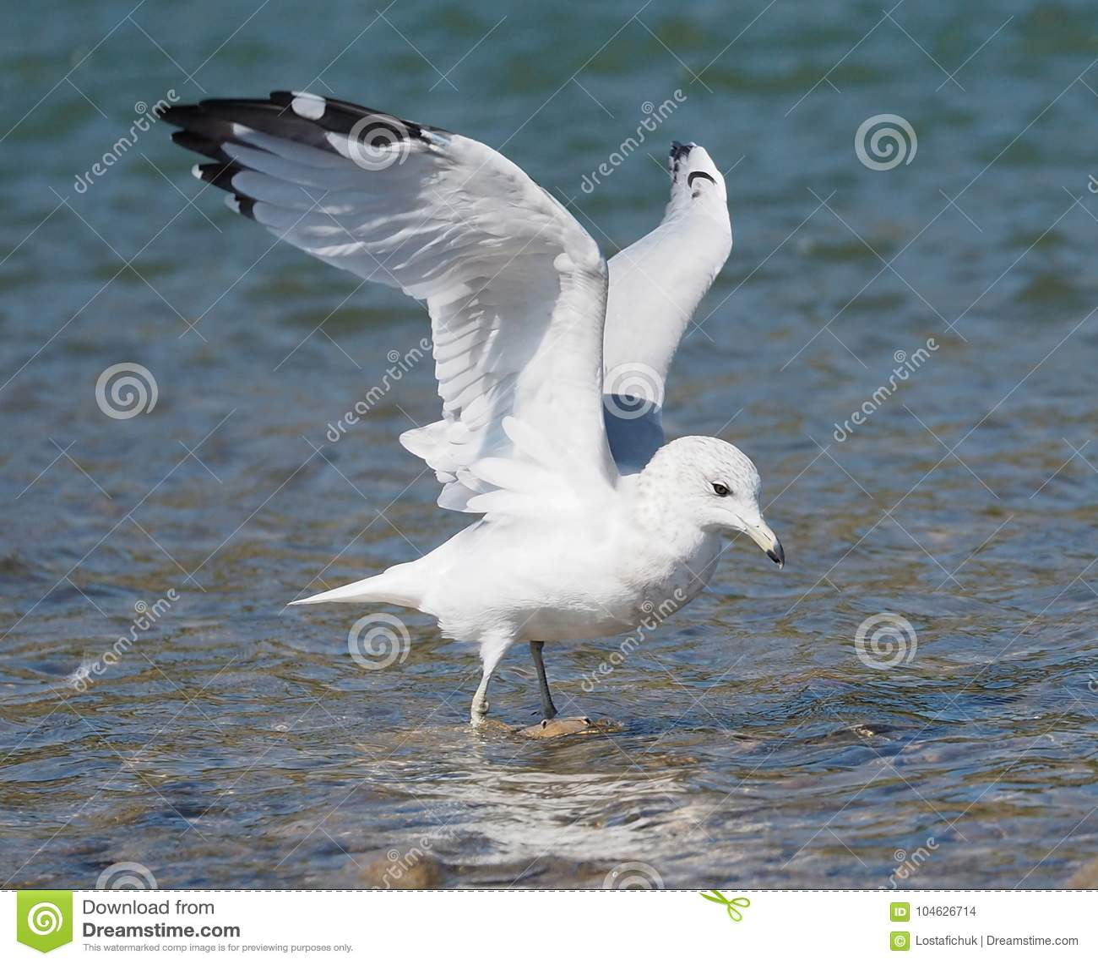 Download Ring Billed Gull Or Larus Delawarensis Stock Foto - Afbeelding bestaande uit universeel, gefactureerd: 104626714