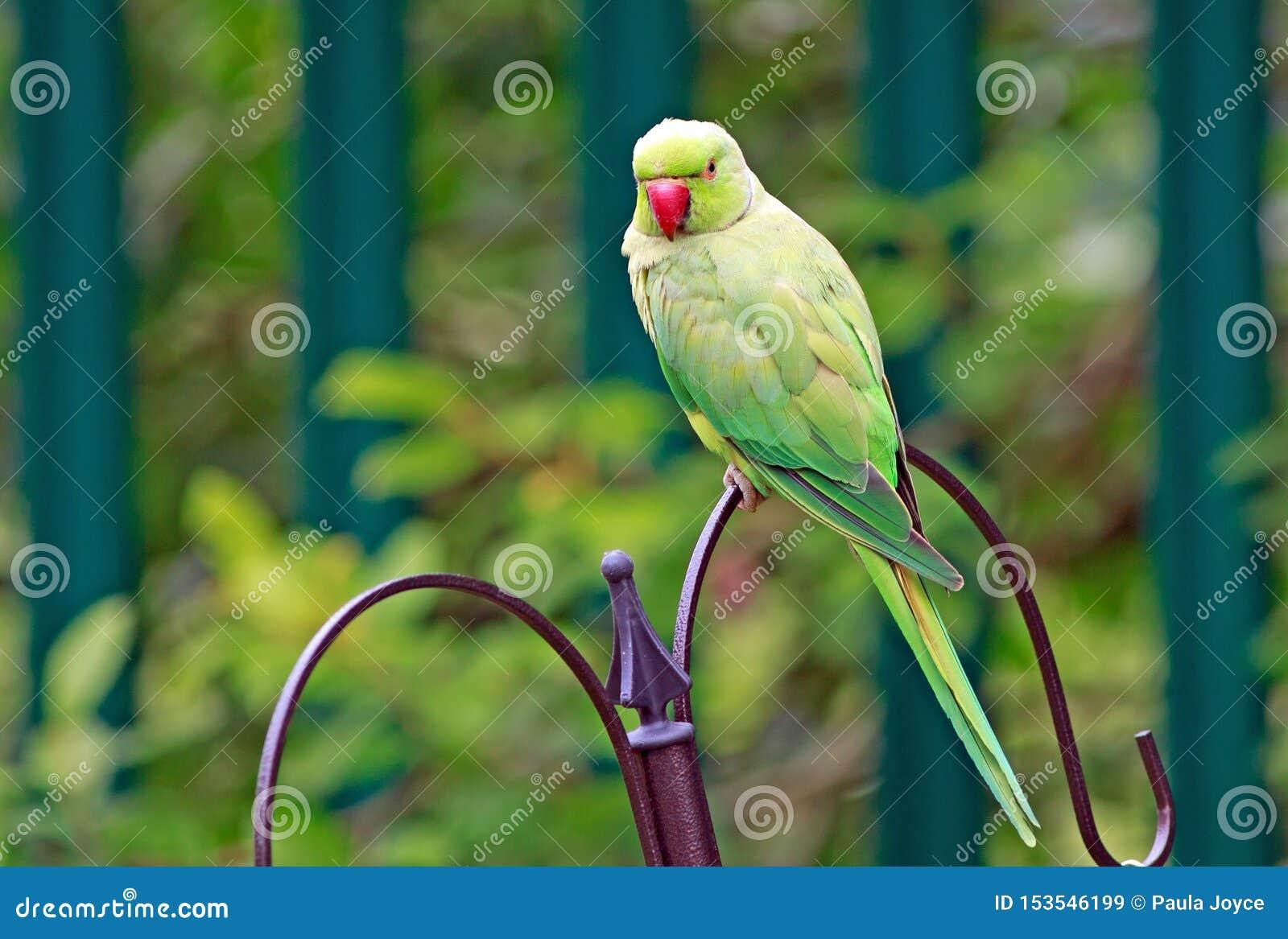 Ring-necked grüner Sittich gehockt auf einer Vogelzufuhr