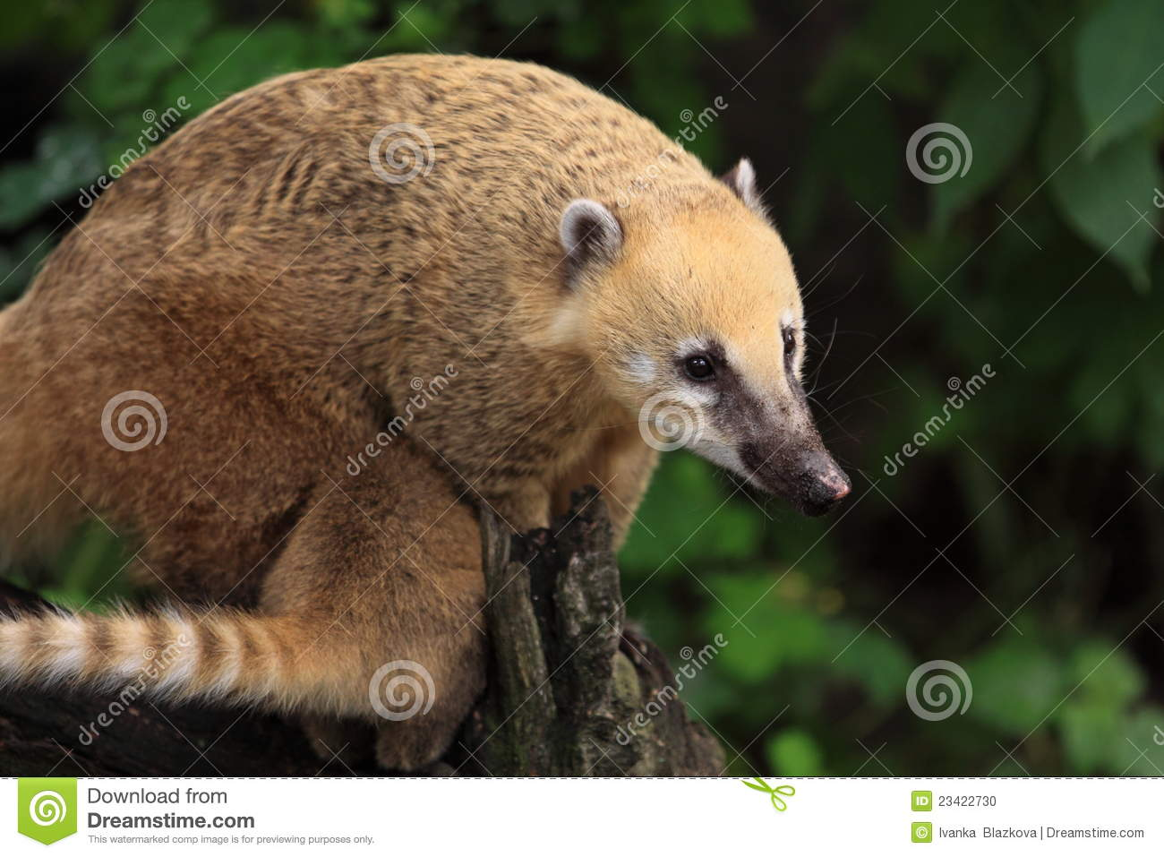 Ring Tailed Coati Stock Photo Image 23422730