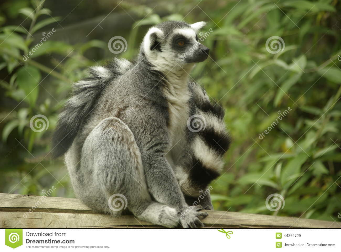 Ring Tailed Leamur