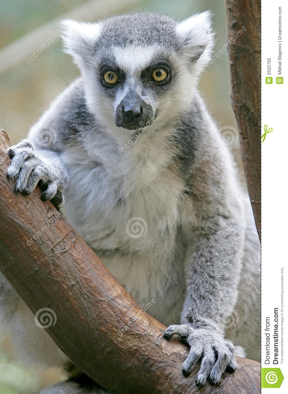ringtailed lemur 1 stock image image of ring fauna