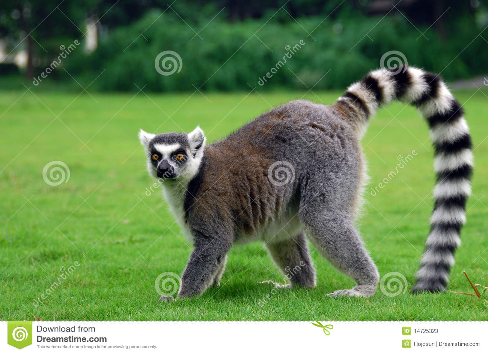 ring tailed lemur stock image image of grey ringed 14725323