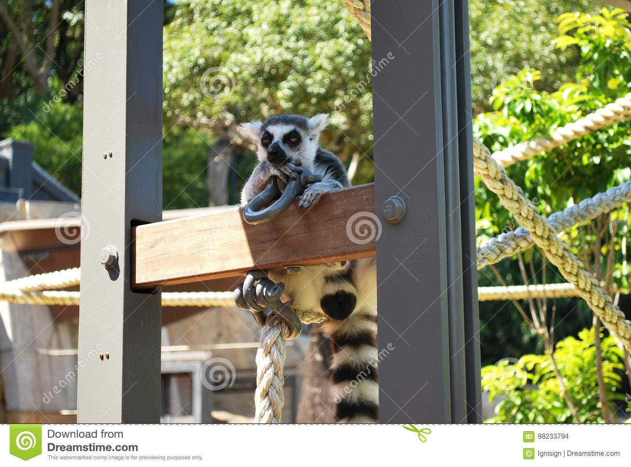 Ring-tailed lemur bachelor showing skepticism on a sunny day