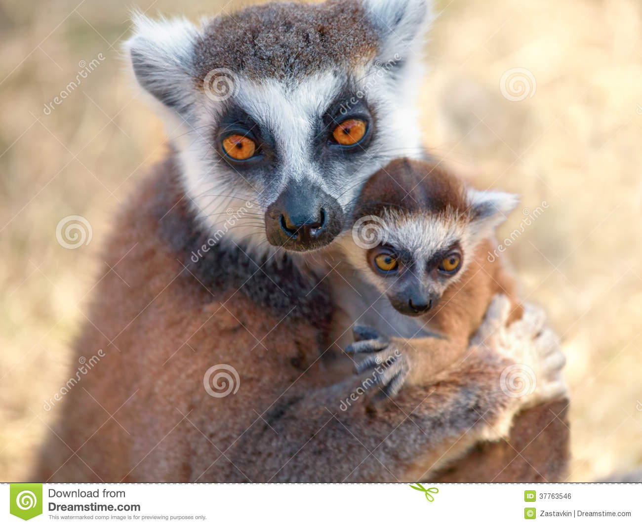 Ring tailed lemur catt...