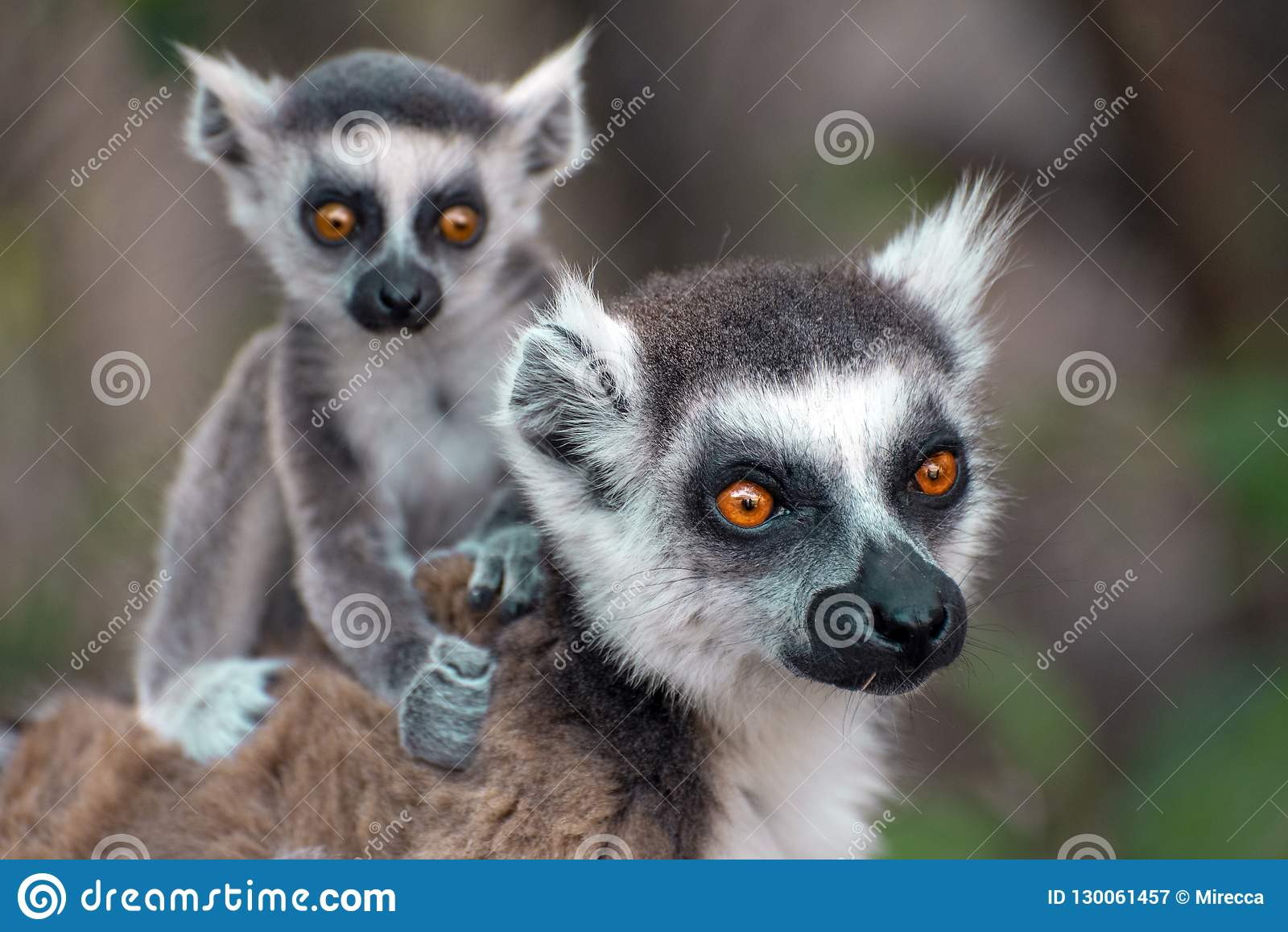 Ring Tailed Lemur kata ,Close up Ring-tailed lemur baby and mother, mother breastfeeding her baby