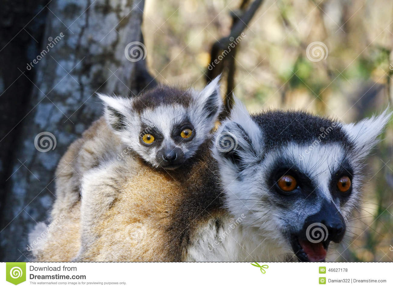 Ring-tailed Lemur (lemur Catta) And Cute Cup, Madagascar Stock Photo ...