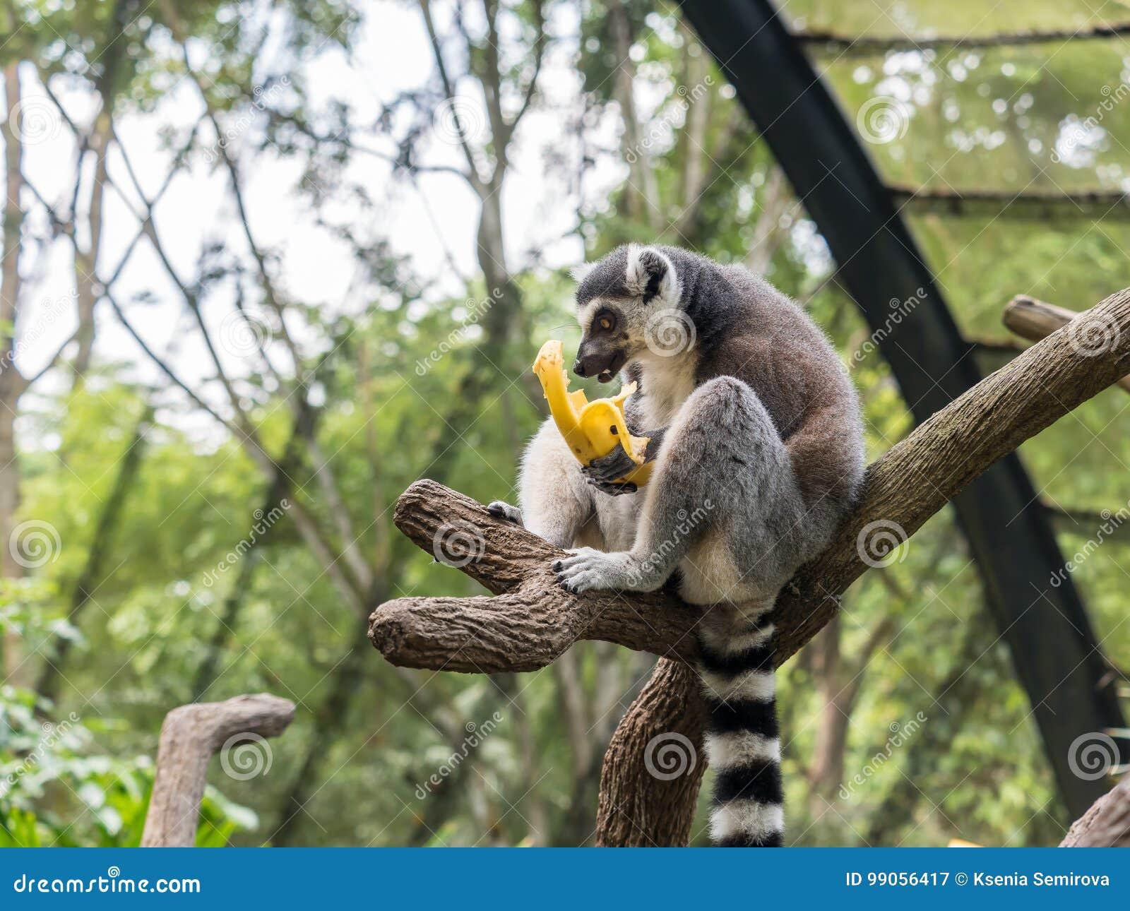 Ring Tailed Lemur Lemur Catta Eating A Banana Stock Image Image Of