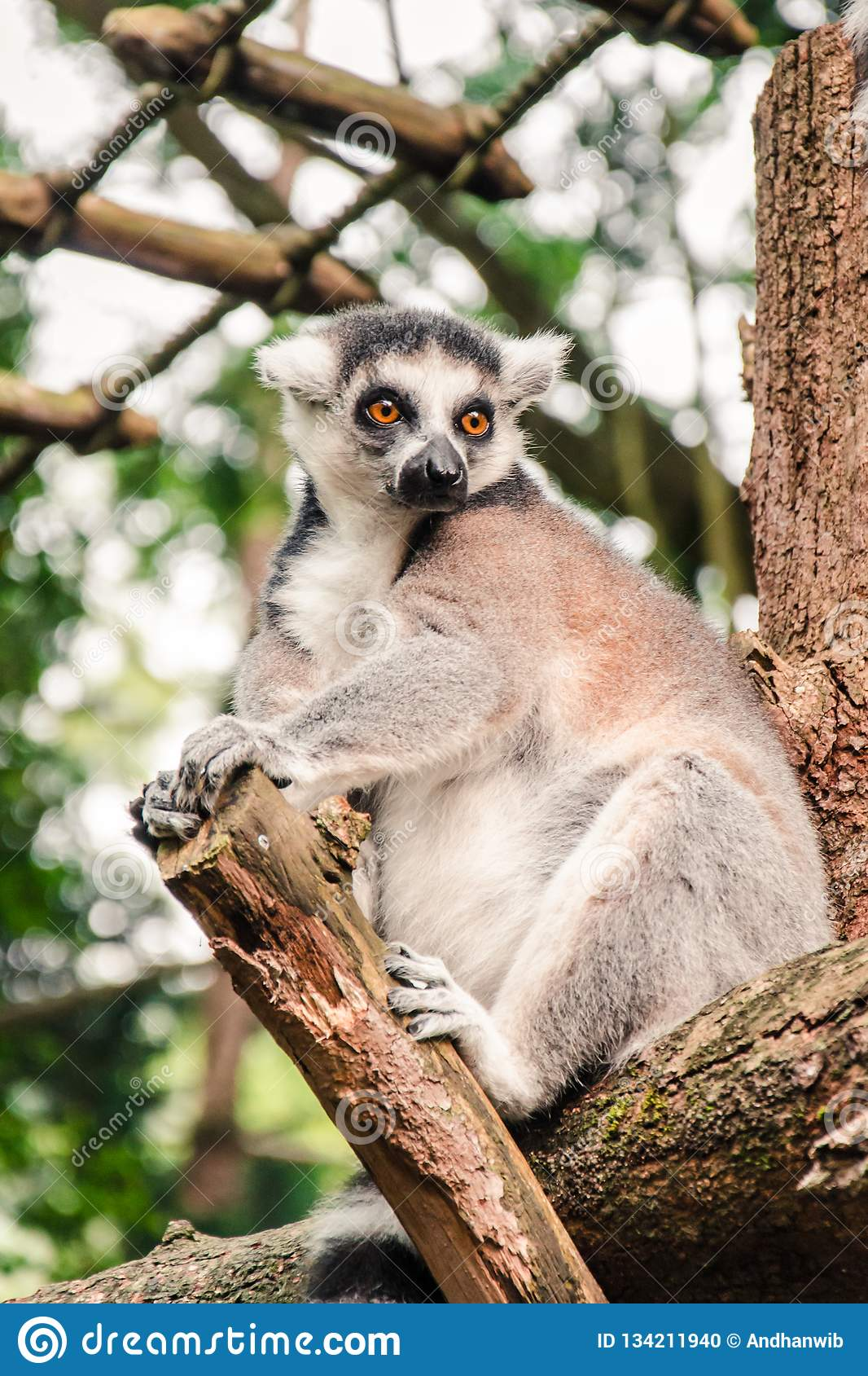 Close up of a Ring-tailed Lemur Relaxing on a Log