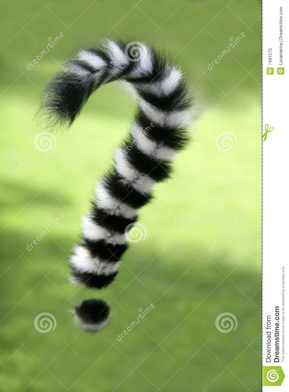 Ring tailed lemur from Madagascar. Question mark shape tail over green ...