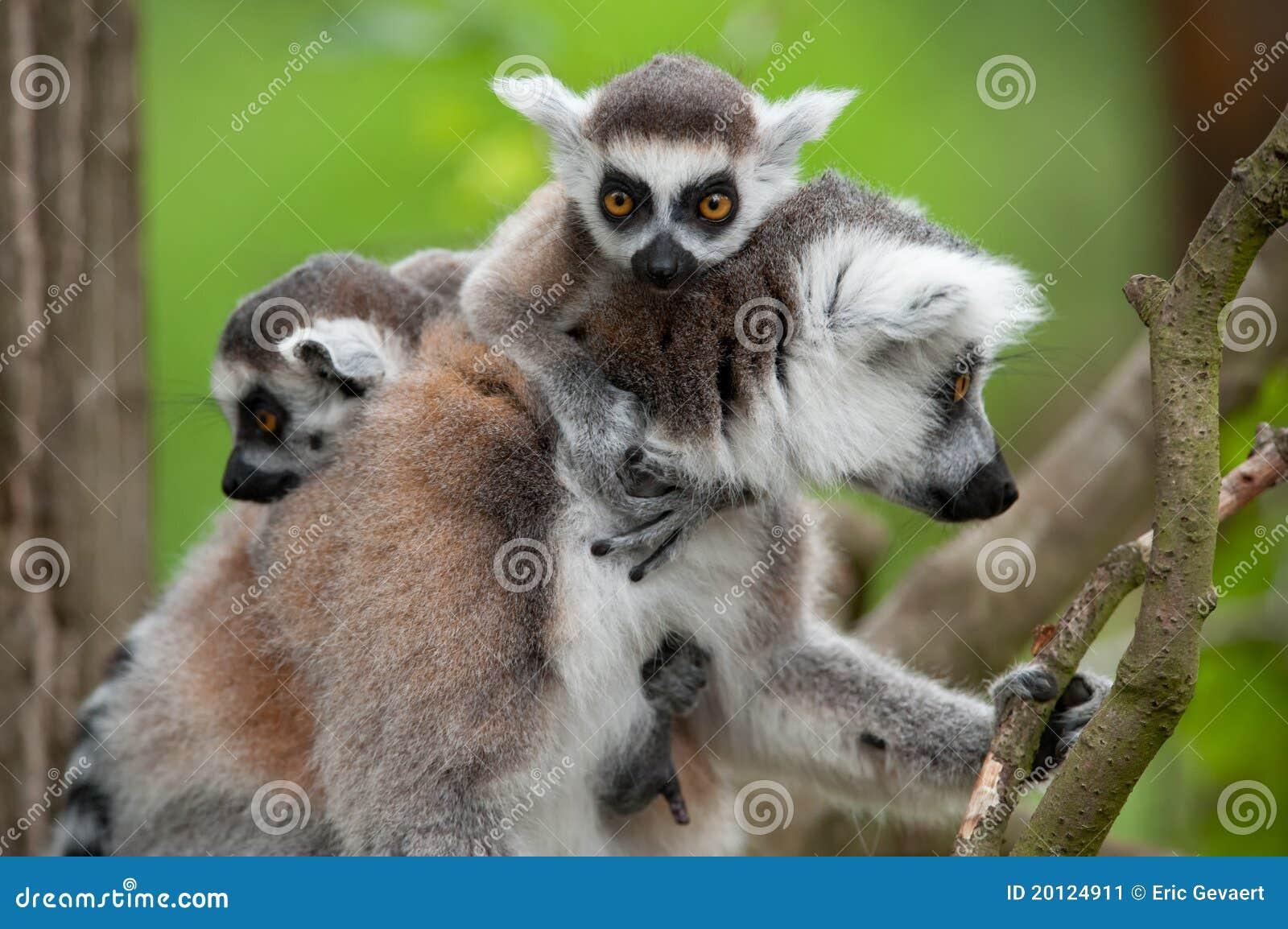 Ring-tailed Lemur mit ihren netten Schätzchen