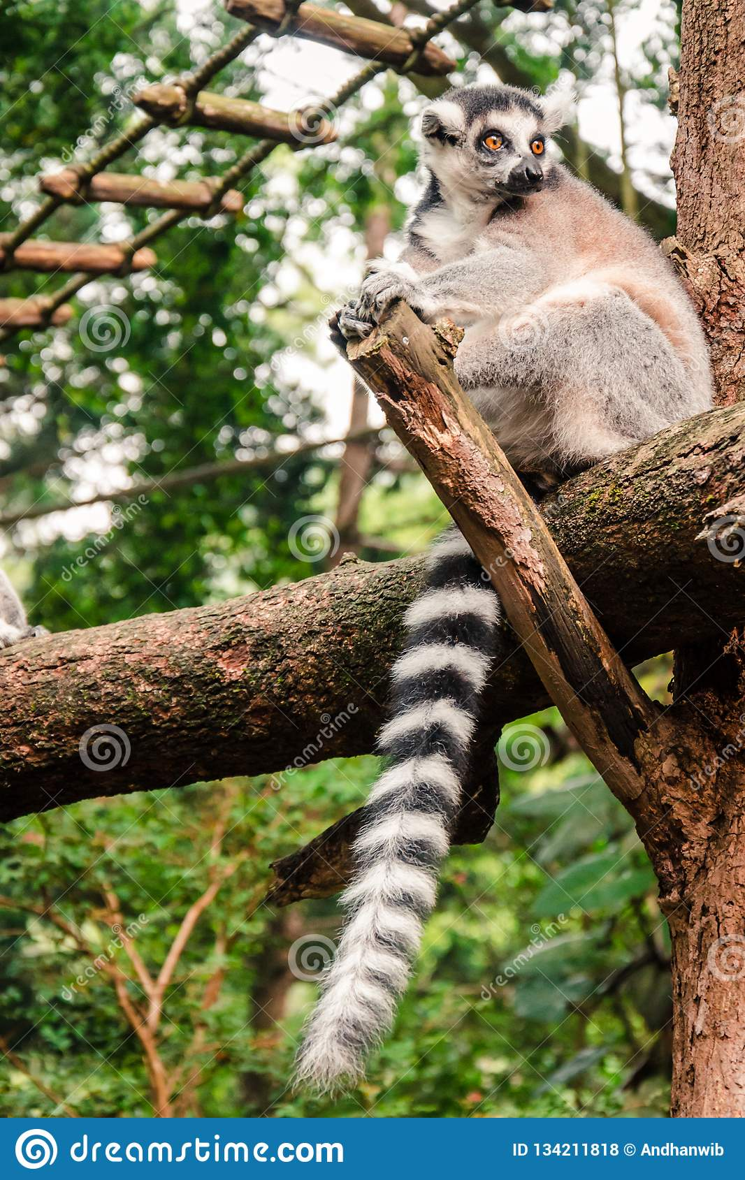 Ring-tailed Lemur Relaxing on a Log