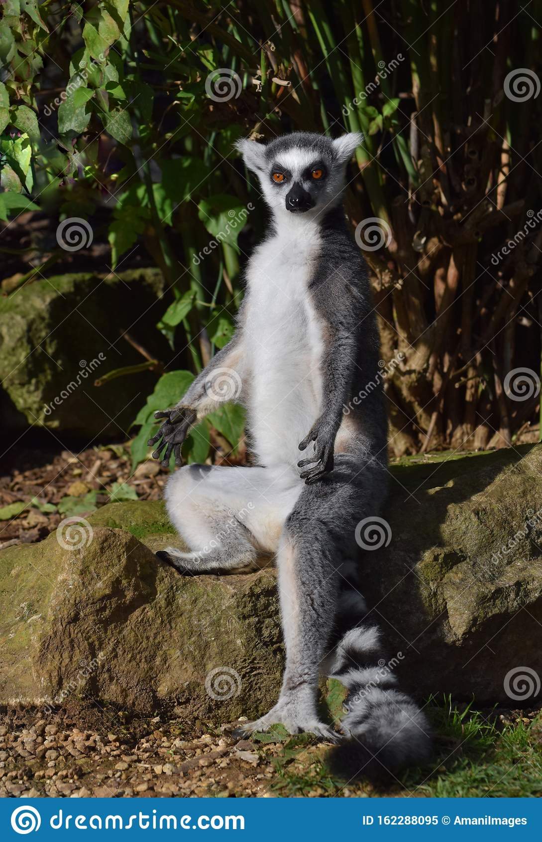 Ring tailed lemur sitting in a yoga type pose