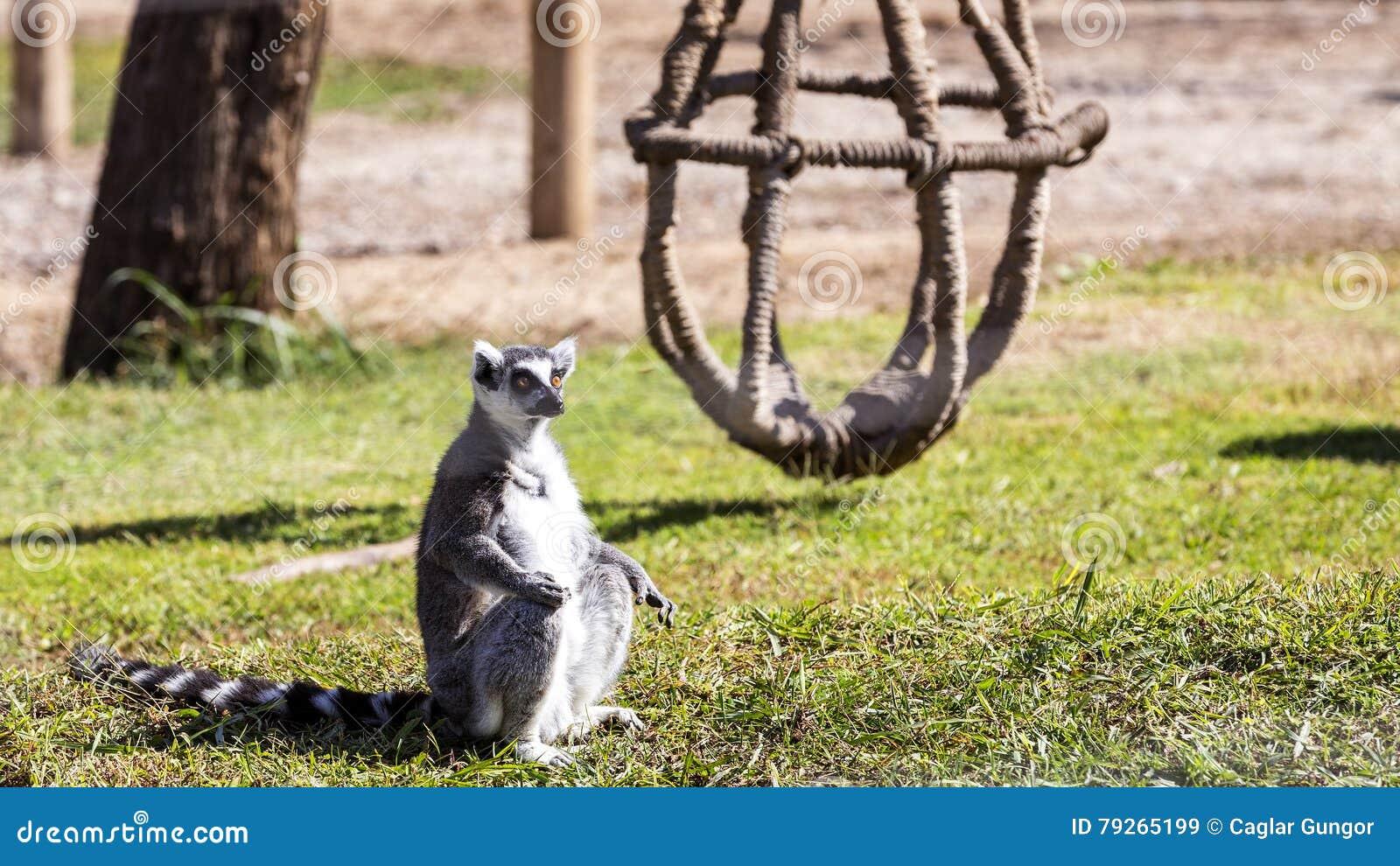 Ring tailed lemuren
