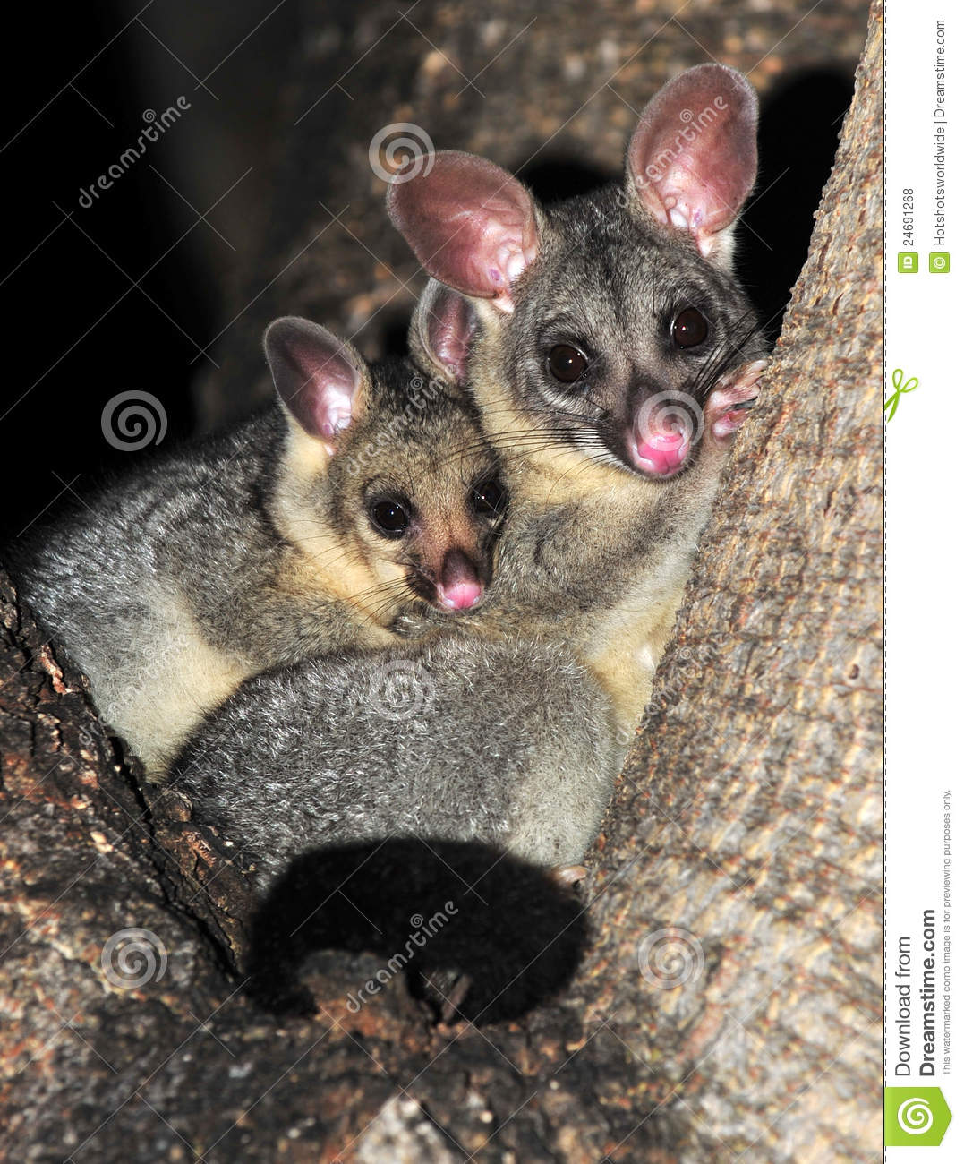 Ring Tailed Possum With Baby Queensland Australia Royalty Free