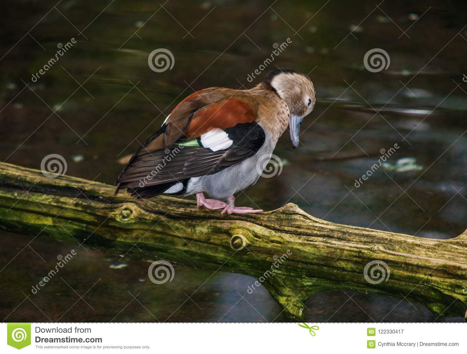 Ringed Teal Duck Callonetta Leucophrys