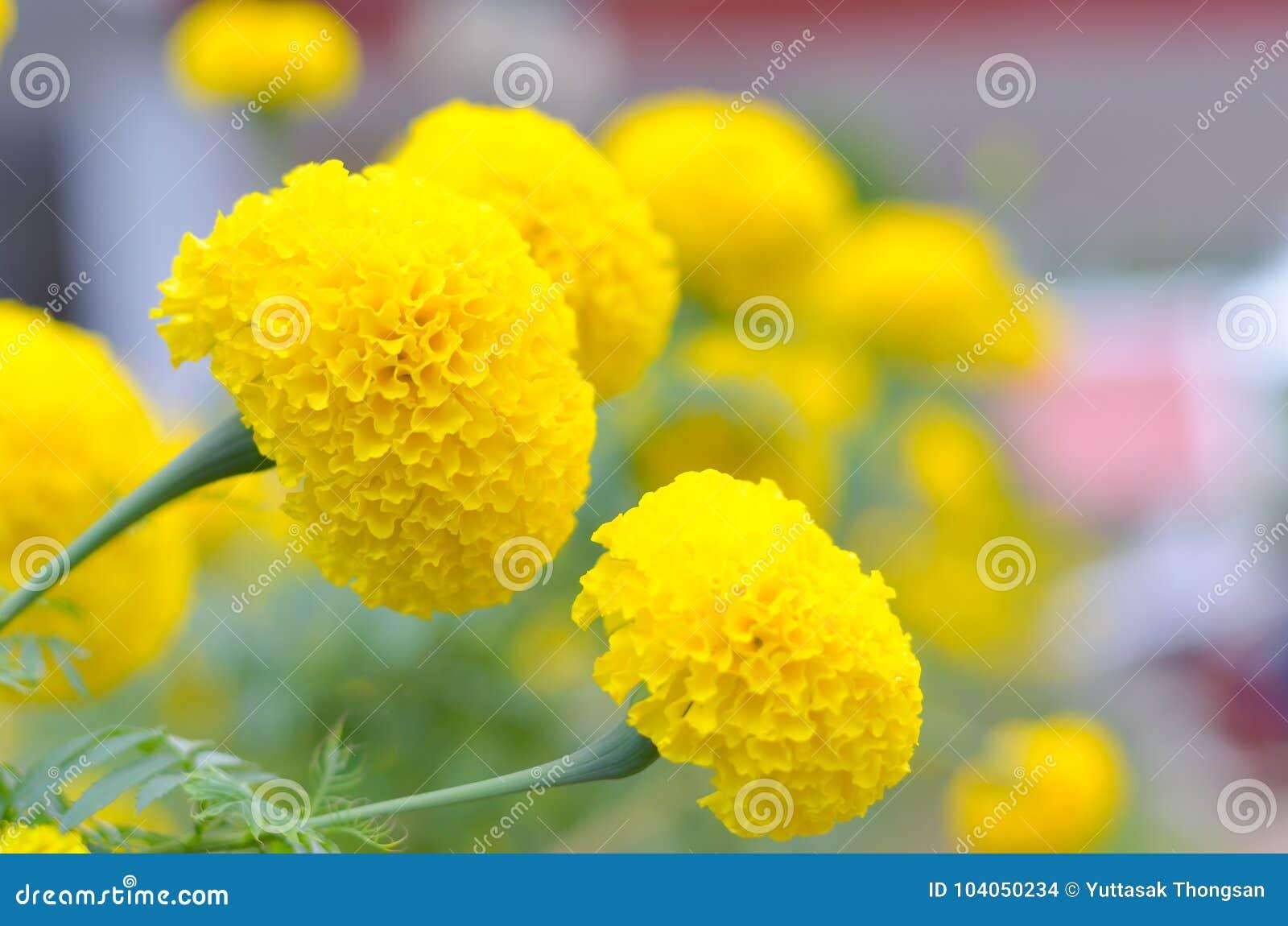 Ringelblume eine Anlage im Garten am Sommer unter Sonnenlicht, gewöhnlich mit yellowl, Naturhintergrund, abstrakte Hintergründe,