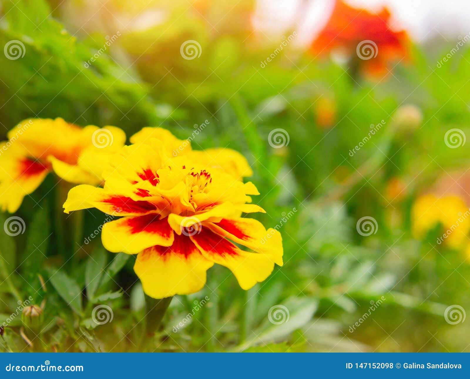 Ringelblumenblume auf einem Blumenbeet im Garten Unscharfer Hintergrund, selektiver Fokus, Nahaufnahme