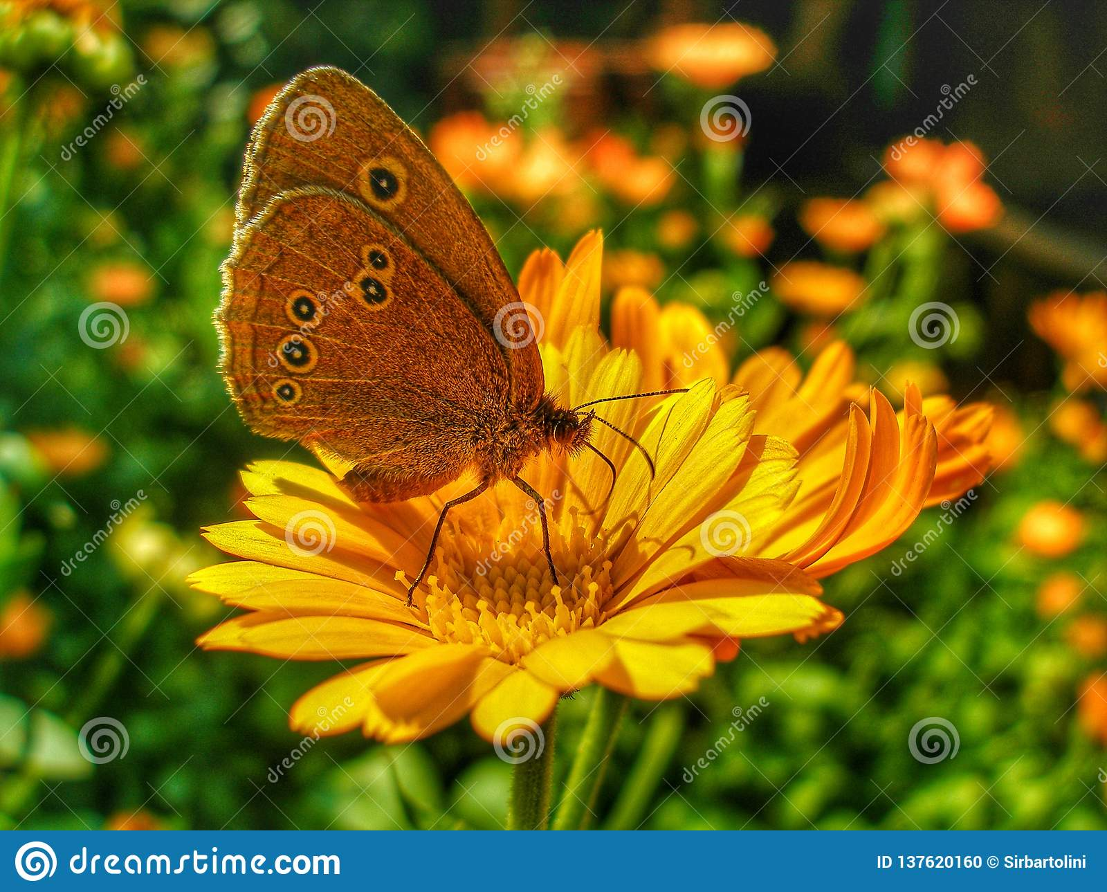 Ringlet butterfly sitting on Marigold flower.