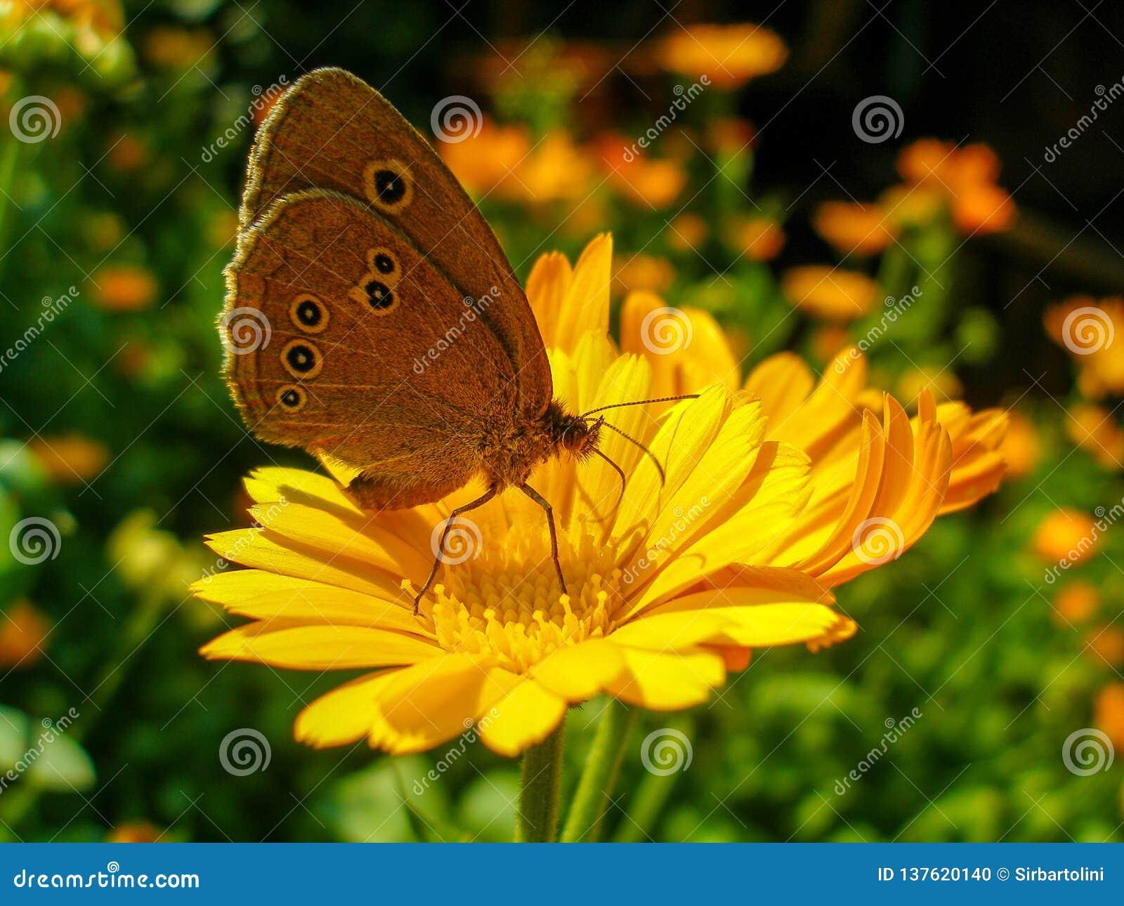 Ringlet butterfly sitting on Marigold flower.