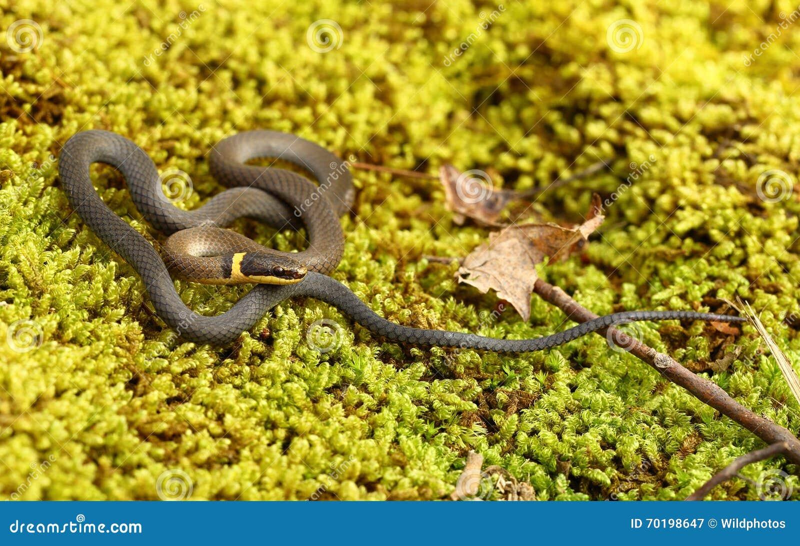 Ringneck orm