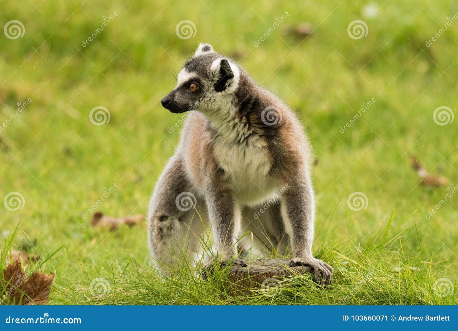 Ringowy Ogoniasty lemur siedzi samotnie