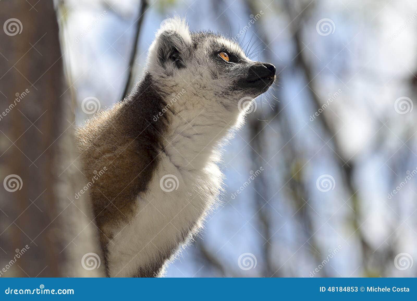 Ringowy ogonu lemur