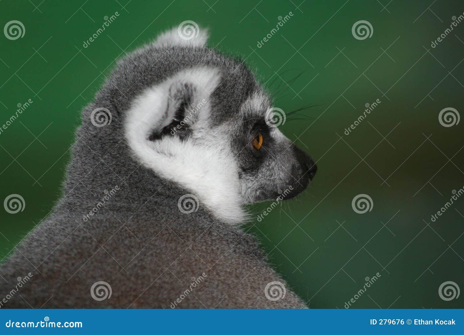 Ringtailed lemurstående