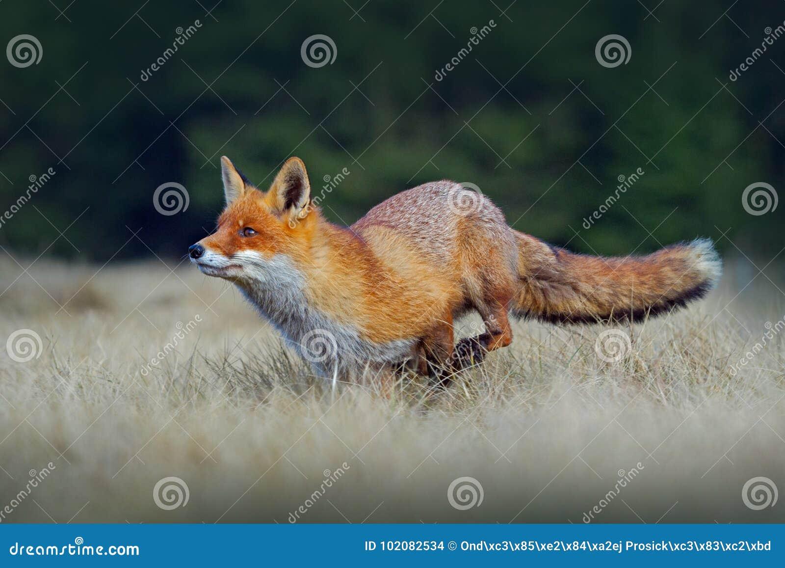 Rinnande röd räv Rinnande röd räv, Vulpesvulpes, på den gröna skogdjurlivplatsen från Europa Orange djur för pälslag i naturen