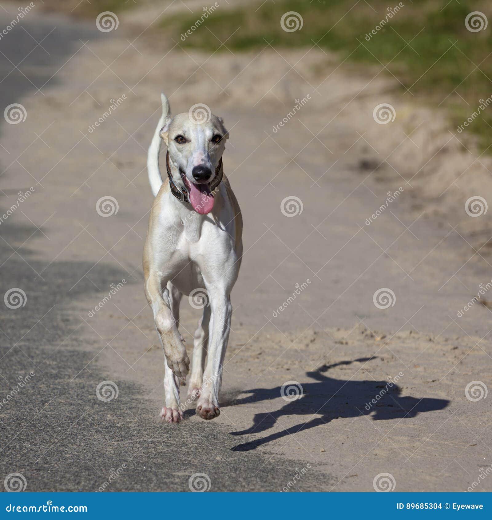 Rinnande whippethund
